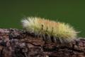 Štětconoš ořechový (Calliteara pudibunda)
