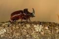 Nosorožík kapucínek (Oryctes nasicornis)