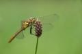Vážka obecná  (Sympetrum vulgatum)