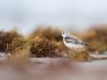 Jespák písečný (Calidris alba)
