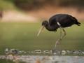 Čáp černý (Ciconia nigra)