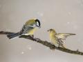Čížek lesní (Carduelis spinus) - Sýkora koňadra (Parus major)