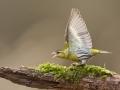Čížek lesní (Carduelis spinus)