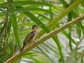 Žluna síťovaná (Picus vittatus)