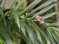 Bulbul žlutořitý (Pycnonotus goiavier)