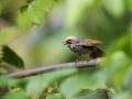 Bulbul korunkatý (Pycnonotus zeylanicus)