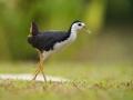 Chřástal běloprsý (Amaurornis phoenicurus)