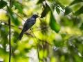 Drongo vlajkový (Dicrurus paradiseus)