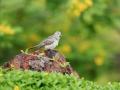 Holoubek proužkokrký (Geopelia placida)