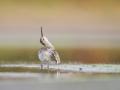 Jespák křivozobý (Calidris ferruginea)