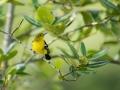 Jora černokřídlá (Aegithina tiphia)
