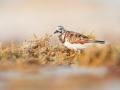 Kameňáček pestrý (Arenaria interpres)