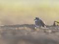 Kulík říční (Charadrius dubius)