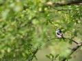 Mlynařík dlouhoocasý (Aegithalos caudatus)