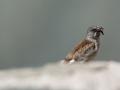 Pěnkavák sněžný (Montifringilla nivalis)