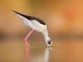 Pisila čáponohá (Himantopus himantopus)
