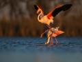 Plameňák růžový (Phoenicopterus roseus)