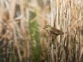 Rákosník proužkovaný (Acrocephalus schoenobaenus)