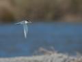 Rybák malý (Sternula albifrons)