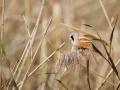 Sýkořice vousatá (Panurus biarmicus)
