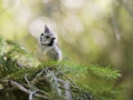 Sýkora parukářka (Lophophanes cristatus)