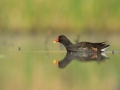 Slípka zelenonohá (Gallinula chloropus)
