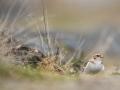 Sněhule severní (Plectrophenax nivalis)