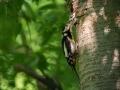 Strakapoud velký (Dendrocopos major)