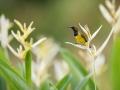 Strdimil olivohřbetý (Cinnyris jugularis)