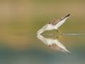 Vodouš štíhlý (Tringa stagnatilis)