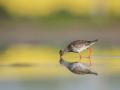 Vodouš rudonohý (Tringa totanus)