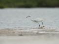 Volavka červenavá (Egretta rufescens)