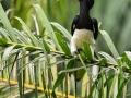 Zoborožec bělolící (Anthracoceros albirostris)