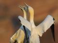 Terej bílý (Morus bassanus)