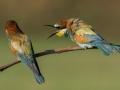Vlha pestrá (Merops apiaster)