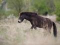 Divoký kůň (Equus ferus caballus)