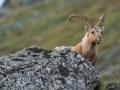 Kozorožec alpský (Capra ibex)