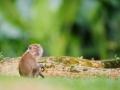 Makak jávský (Macaca fascicularis)