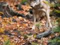 Vlk obecný eurasijský (Canis lupus lupus) - Bavorský les
