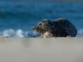Tuleň kuželozubý (Halichoerus grypus)